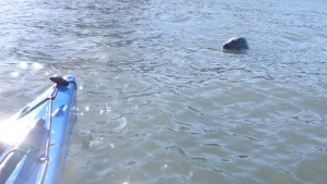 Anglesey seal